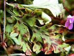 Coleroa robertiani - An der Blattunterseite des Stinkenden Storchschnabels.Im Sommerhalbjahr,nicht selten.