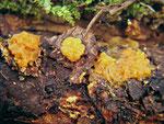 Dacrymyces chrysospermus - Riesen-Gallertträne.Auf Nadelholz,selten.