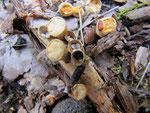 Crucibulum laeve - Tiegel-Teuerling (Lupenblick).Auf kleinen Laubholzstücken,gern auf feuchten Holzspänen,häufig.