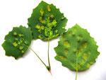 Taphrina populina - Narrentaschen auf den Blättern der Zitterpappel.