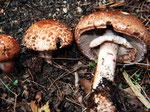 Agaricus langei - Großer Blutegerling,essbar,nicht häufig.Im Nadelwald vorkommend und am Röten (Bluten) des verletzten Fleisches erkennbar.