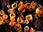 Arachnopeziza aurelia - Goldgelbes Spinnwebbecherchen.Kleine Art,gefunden im Frühjahr auf morschem Birkenholz,selten.