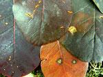 Ovularia cotoni auf Cotinus coggygria (Perückenstrauch)
