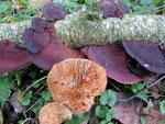 Daedaleopsis tricolor - Dreifarbige Tramete.Von Anfang an braunrote Hutoberseite.Hutunterseite lamellig und ebenfalls auf Druck rötlich verfärbend.An Laubhölzern,nicht häufig.