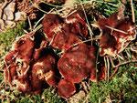 Rhizina undulata - Wellige Wurzellorchel.Unter Kiefern,ziemlich selten.