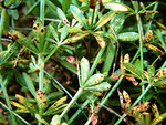 Puccinia punctata - Rostpilz auf Galium sylvatica