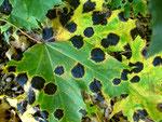 Melasmia acerina (Bild 3/3) auf Blättern des Ahorns