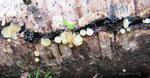 Hymenoscyphus vernus (Bild 1/2) - Frühes Stielbecherchen.Bereits im zeitigen Frühjahr auf nassem Erlenholz,lokal nicht selten.