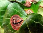 Phoma hedericola auf Hedera helix (Efeu)