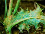 Coleosporium tussilaginis - Rostpilz auf Sonchus oleraceus (Gänsedistel).Auf Kiefer übergehend.