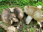 Russula nigricans - Dickblättriger Kohlentäubling.Häufige und ungenießbare Art des Laub-und Nadelwaldes.