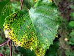 Discula betulina befällt die Blätter von Birken.