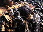 Xylaria carpophila - Buchenschalen-Holzkeule.Meist auf vergrabenen Buchenschalen,nicht selten.