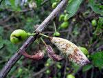 Taphrina pruni - Narrentasche an den Früchten von Schlehen.