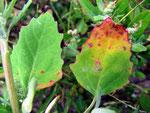 Ramularia macularis (Bild 2/2) auf Chenopodium album