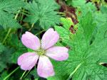 Alternaria geranii auf Geranium pratense (Wiesen-Storchschnabel)