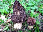 Morchella conica - Spitzmorchel.Im Frühjahr (April-Mai) oft überraschend in Beeten,auf Rindenmulch oder auf nackter Erde wachsend und selten dort wieder erscheinend.