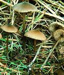 Entoloma hebes - Schlankstieliger Rötling.Nicht häufig und nur bei gezielter Suche zu finden.
