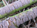 Peniophora violaceolivida (Bild 2/2)