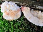 Postia fragilis - Braunfleckender Saftporling.An morschem Fichtenholz,nicht häufig.Die Rötung bzw.Bräunung entsteht durch Druck oder einfaches Befassen des Pilzes,sonst ist er weiß.