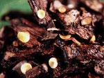 Hymenoscyphus lutescens - Ascomycet auf feucht liegenden Kiefernzapfen im Herbst,nicht häufig.