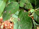 Sphaceloma rosarum auf Rosa arvensis und anderen Rosen