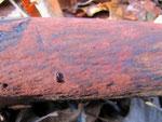 Hypoxylon rubiginosum - Ziegelrote Kohlenkruste.Auf alten Laubholzstämmen,gern auf Rotbuche.Fertige Entwicklung meist erst im Herbst.