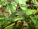 Ramularia deusta auf Lathyrus-Arten (Platterbsen)