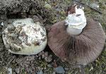 Agaricus bitorquis - Stadtchampignon.Essbare Art,zumeist auf Gehwegen inmitten von Städten.Kann sogar Pflastersteine anheben.