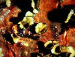 Cenangium ferruginosum (Bild 2/2).Durch Bewässerung geöffnete Becherchen.