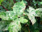 Sawadaea bicornis - Mehltau auf Acer campester (Bergahorn)