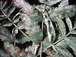 Podosphaera clandestina - Mehltau auf Scorpus aucuparia (Vogelbeere)