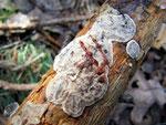 Stereum sanguinolentum - Blutender Schichtpilz.Auf Nadelholz,besonders Kiefer,ganzjährig,häufig (die Rötung zeigt sich durch Ritzen).