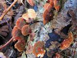 Stereum subtomentosum - Samtiger Schichtpilz.Weniger häufige Art auf Laubgehölzen.