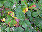 Marssonina fragariae auf Fragaria (Erdbeere).Die sogenannte und überall häufige Rotfleckenkrankheit der Erdbeere.