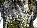 Lyomyces sambuci - Holunder-Rindenpilz.Häufige und leicht kenntliche Art auf Holunder,besonders an der Stammbasis.