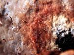 Phanerochaete laevis - Glatter Zystiden-Rindenpilz.Relativ selten,gefunden an Buche.