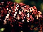 Calycina conorum - Rötendes Kiefernzapfenbecherchen.Meist unter der feuchten Nadelstreu oder in Feuchtgräben.Frühjahr-Sommer,selten.