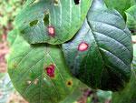 Cercospora bacilligera auf Blättern von Rhamnus frangula (Faulbaum)