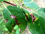 Colletotrichum gloeosporioides auf Blättern von Salix caprea (Sal-Weide).Die Blätter vergilben.