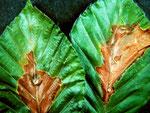 Discula umbrinella auf Blättern von Fagus sylvatica (Rotbuche)