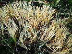 Pterula multifida - Weißliche Borstenkoralle.Im Fichtenwald,oft zwischen Gras und Moos,nicht in jedem Jahr und nicht überall.