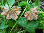 Trachyspora intrusa - Rostpilz auf Alchemilla vulgaris