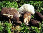 Lactarius lygniotus - Mohrenkopf-Milchling,Pasterle.Unter Fichten,gern auf oder an morschen Stubben,selten,essbar.In höheren Lagen häufiger.