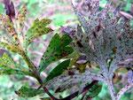 Puccinia tanaceti - Rostpilz auf Artemissia vulgaris (Beifuß) und auf Tanacetum vulgare.
