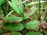 Septoria pimpinellae auf Pimpinella saxifraga