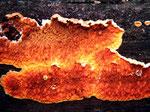 Pseudomerulius aureus - Goldgelber Fältling.An morschem Kiefernholz.Nicht in jedem Jahr auffindbar,selten.
