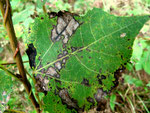 Polaccia elegans verursacht die Blattwelke und das Verwelken der Triebspitzen von Populus nigra (Schwarzpappel und Hybriden).