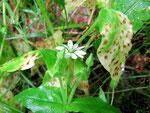 Ramularia episphaeria auf Myosoton aquatica (Wasserdarm) und auf Stellaria nemorum (Waldmiere,Foto).
