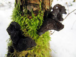 Exidia glandulosa (Bull.) Fr. (=Exidia truncata Fr.) (Bild 1/2) - Abgestutzter,Becherförmiger oder Stoppeliger Drüsling.Sehr häufig,besonders an dünnen Eichenstämmen im Winter.